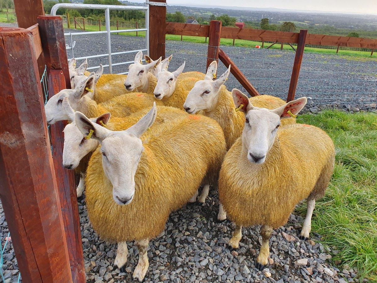 Glenshane Country Farm Animals 2